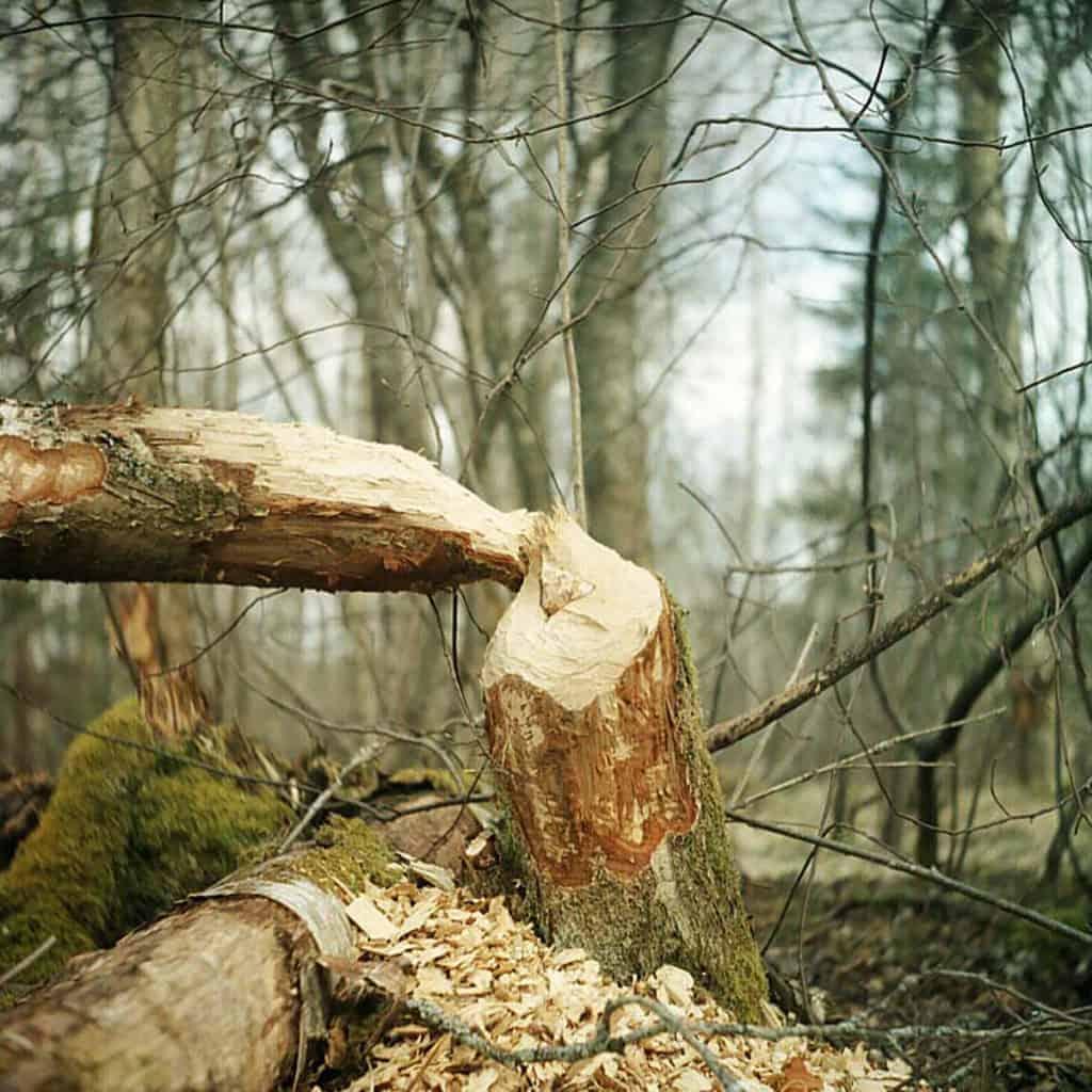 En stam som är avgnagt av en bäver.
